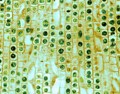 Hyacinth Root Tip Cells Poster by Omikron