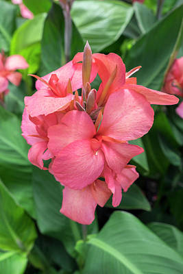 Hybrid Cana Lily, Usa Poster