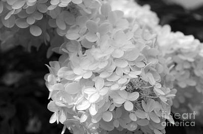 Hydrangea Bright And White Poster