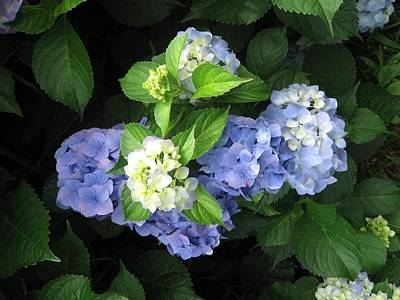Poster featuring the photograph Hydrangea by Deb Martin-Webster