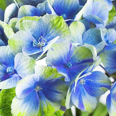 Hydrangea Flower And Soil Acidity Poster by Science Photo Library
