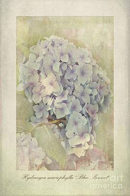 Hydrangea Macrophylla Blue Bonnet Poster by John Edwards
