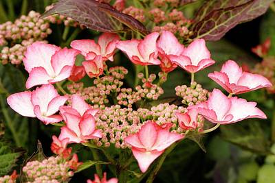 Hydrangea Macrophylla 'love You Kiss' Poster