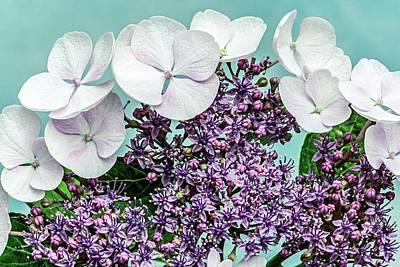 Hydrangea Macrophylla 'teller Blanc' Poster by Brian Gadsby