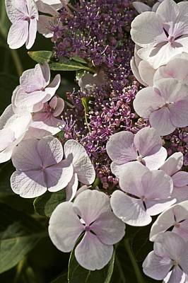 Hydrangea Macrophylla 'teller Blanc' Poster by Science Photo Library