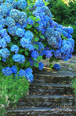 Hydrangea Steps 2 Poster by Jeanette French