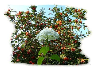 Hydrangea With Mountain Ash Poster by Will Borden