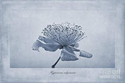 Hypericum Calycinum Cyanotype Poster by John Edwards