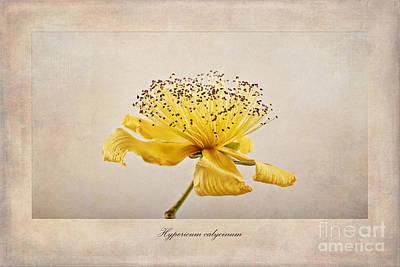 Hypericum Calycinum Poster by John Edwards