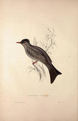 Hypsipetes Psaroides, Black Bulbul. Birds From The Himalaya Poster