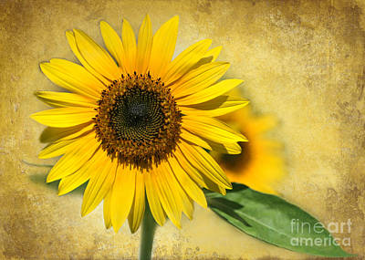 I Love Sunflowers Poster