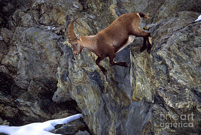 Ibex Climbing Mountainside Poster by Art Wolfe