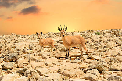 Ibexes And Sunset Poster