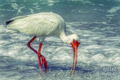 Ibis Feeding Poster by Valerie Reeves
