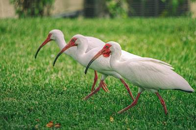 Poster featuring the photograph Ibis Lawn Service by Dennis Baswell