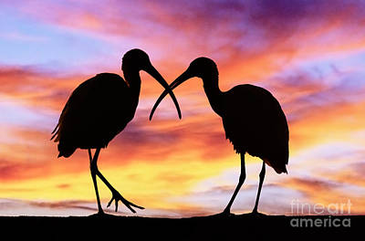 Ibises In Silhouette Poster