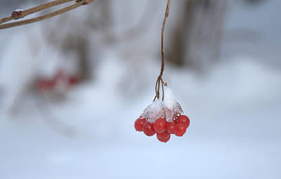 Poster featuring the photograph Ice Berries by Sabine Edrissi