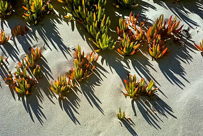 Ice Plant In Sand Poster
