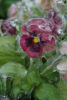 Iced Purple Pansy Poster