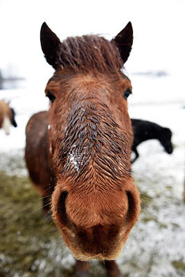 Icelandic Horse Poster by Dr P. Marazzi