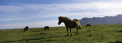 Icelandic Horses In A Field, Svinafell Poster by Panoramic Images