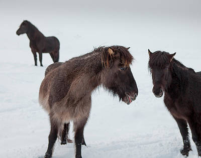 Icelandic Horses With Winter Coats Poster by Panoramic Images