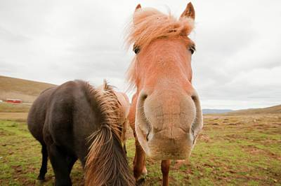 Icelandic Ponies Near Dalvik Poster by Ashley Cooper
