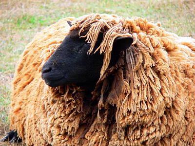 Icelandic Sheep Poster by Jeff Lowe