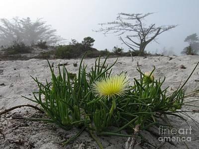 Iceplant Bloom On Carmel Dunes Poster