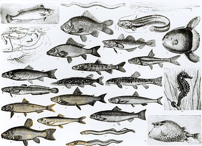 Ichthyology Poster by English School