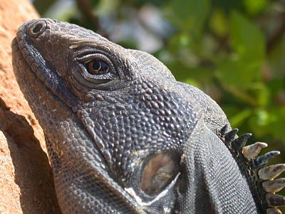 Iguana Closeup Poster