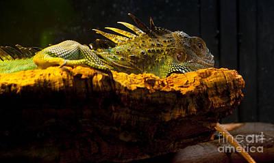 Iguana On Rock Poster