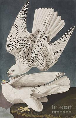 Illustration From Birds Of America Poster by John James Audubon