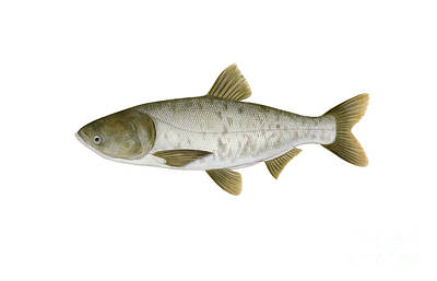 Illustration Of A Bighead Carp Poster by Carlyn Iverson