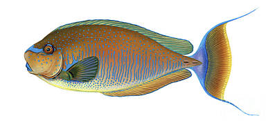 Illustration Of A Bignose Unicornfish Poster by Carlyn Iverson