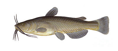 Illustration Of A Black Bullhead Poster by Carlyn Iverson