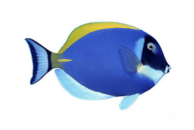 Illustration Of A Blue Surgeonfish Poster by Carlyn Iverson