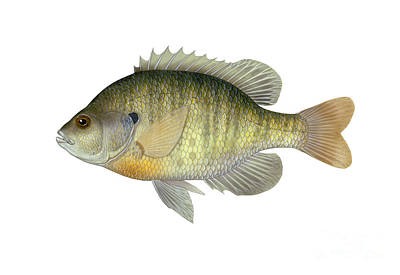 Illustration Of A Bluegill, Freshwater Poster by Carlyn Iverson