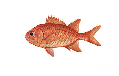 Illustration Of A Brick Soldierfish Poster by Carlyn Iverson