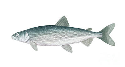 Illustration Of A Cisco, Freshwater Poster by Carlyn Iverson