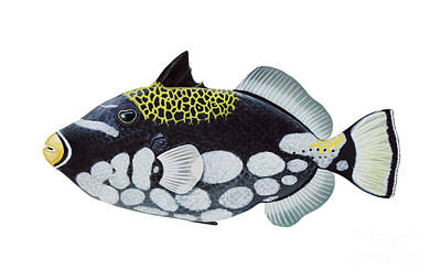 Illustration Of A Clown Triggerfish Poster by Carlyn Iverson