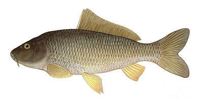Illustration Of A Common Carp Cyprinus Poster by Carlyn Iverson