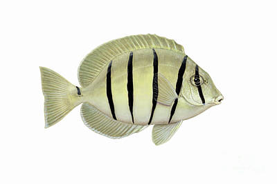 Illustration Of A Convict Tang Fish Poster by Carlyn Iverson