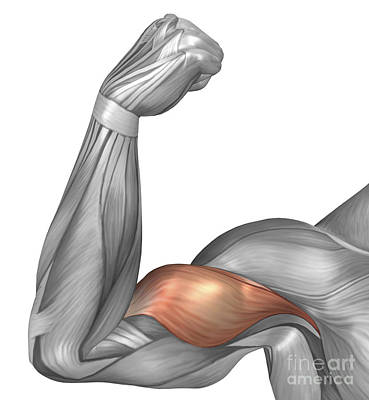 Illustration Of A Flexed Arm Showing Poster