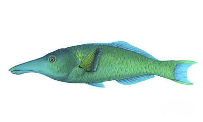 Illustration Of A Green Bird Wrasse Poster by Carlyn Iverson