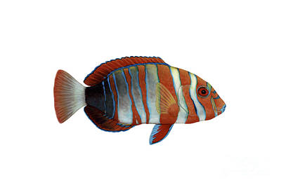 Illustration Of A Harlequin Tuskfish Poster by Carlyn Iverson