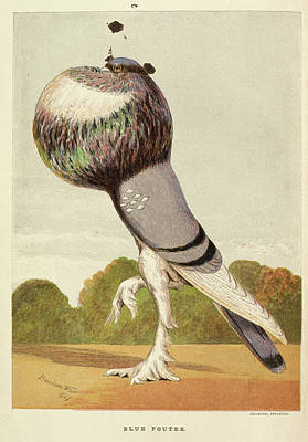Illustration Of A Pigeon. Blue Pouter Poster by British Library