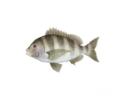 Illustration Of A Sheepshead Poster by Carlyn Iverson