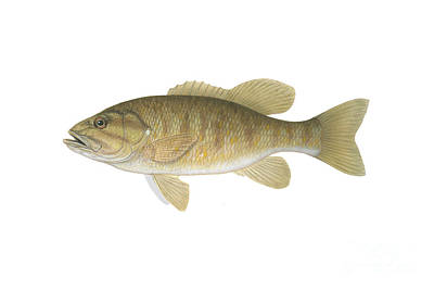 Illustration Of A Smallmouth Bass Poster by Carlyn Iverson