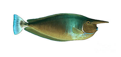 Illustration Of A Spotted Unicornfish Poster by Carlyn Iverson